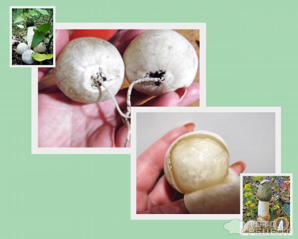 Рецепт настойки гриб веселка