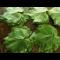 Фото Виноградные листья-заготовки для долмы